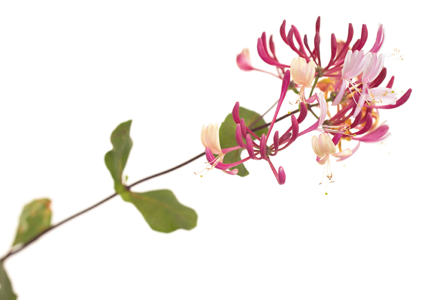 Découvrir les fleurs de Bach